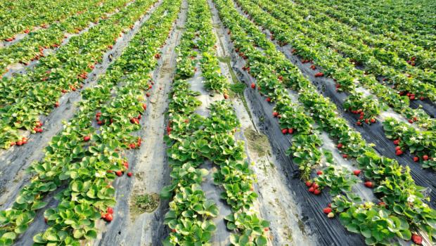 uprawa-truskawek-rzędy