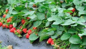 truskawka-plon-owoce