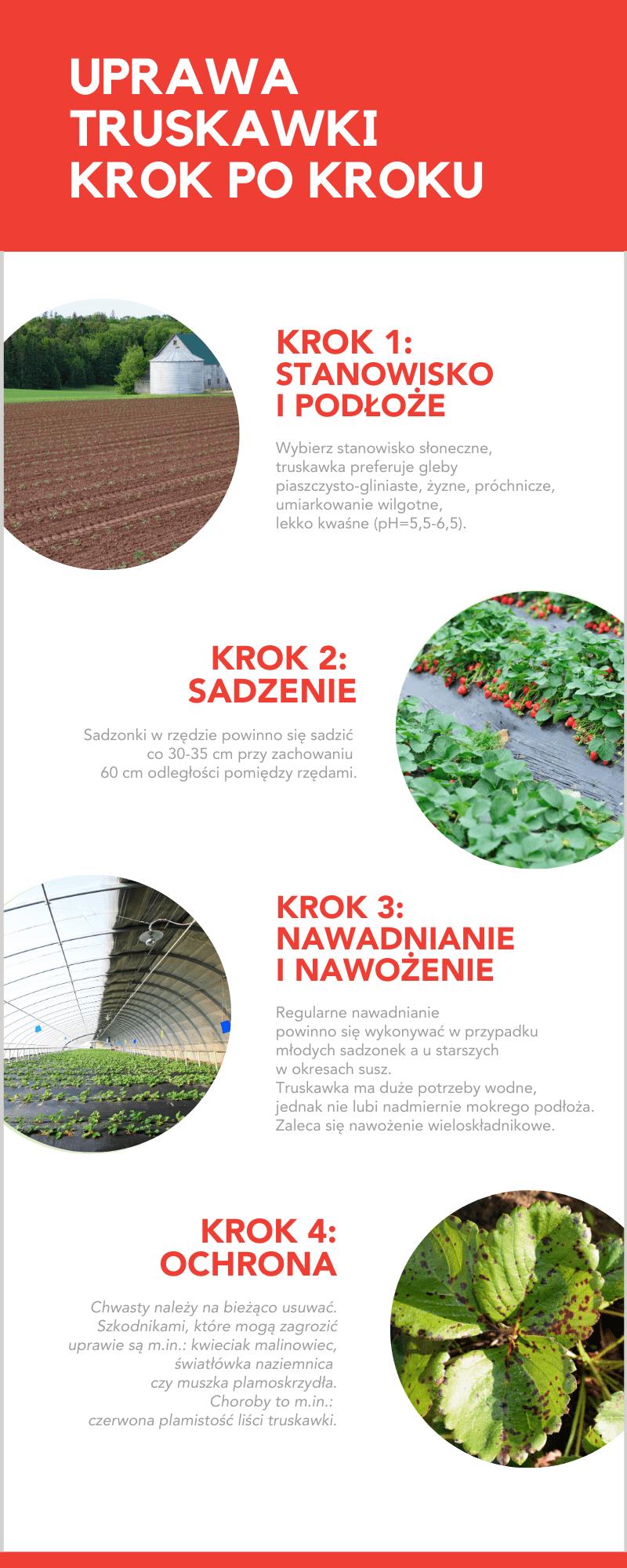 uprawa-truskawki-krok-po-kroku-infografika