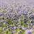 facelia-nawoz-zielony