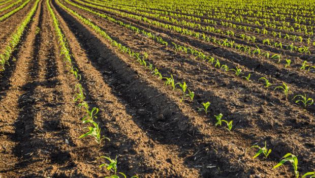 kukurydza-nawozenie-cynkiem-uprawa