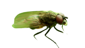 muchówka-śmietka-cebulanka
