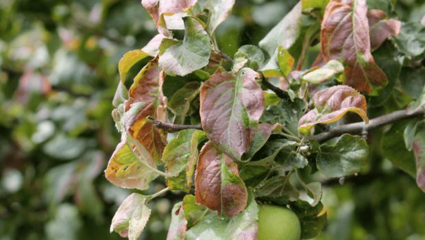miodowka jabloniowa uszkodzenia liści