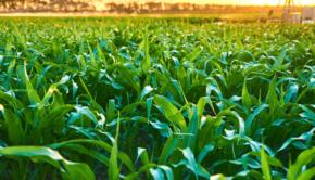 kukurydza-uprawa-choroby-lisci-kukurydzy-min