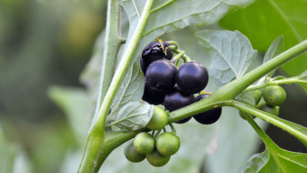 psianka czarna chwast szkodliwy w uprawie