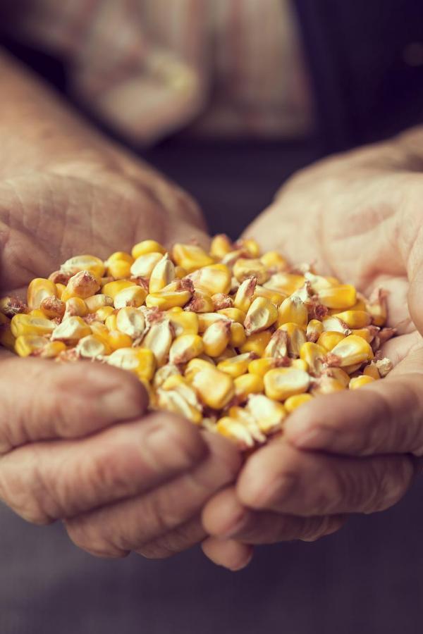 kukurydza rece rolnik ziarno
