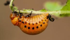 stonka-ziemniaczana-larwa