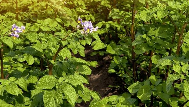 ziemniaki-uprawa-pole