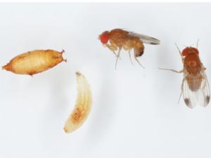 Drosophila-suzukii-szkodniki