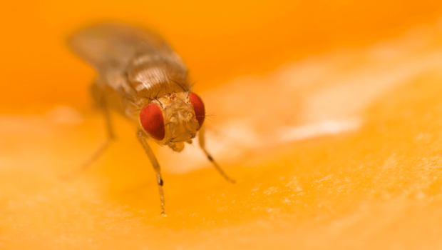 muszka-plamoskrzydla-owoc