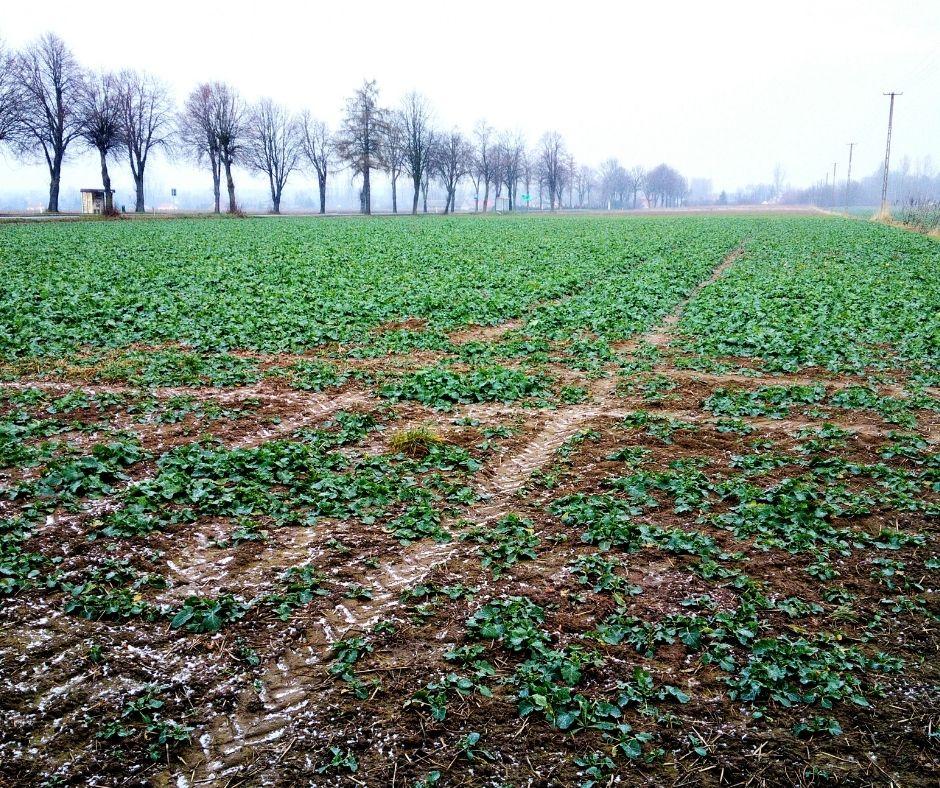 Uszkodzenia rzepaku podczas zimowania polskie pole