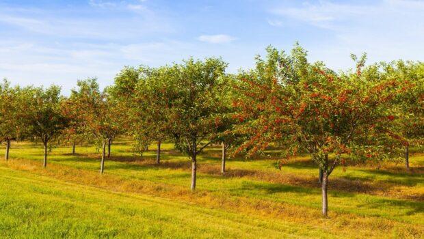 jak formować czereśnie, ciecie drzew czeresni