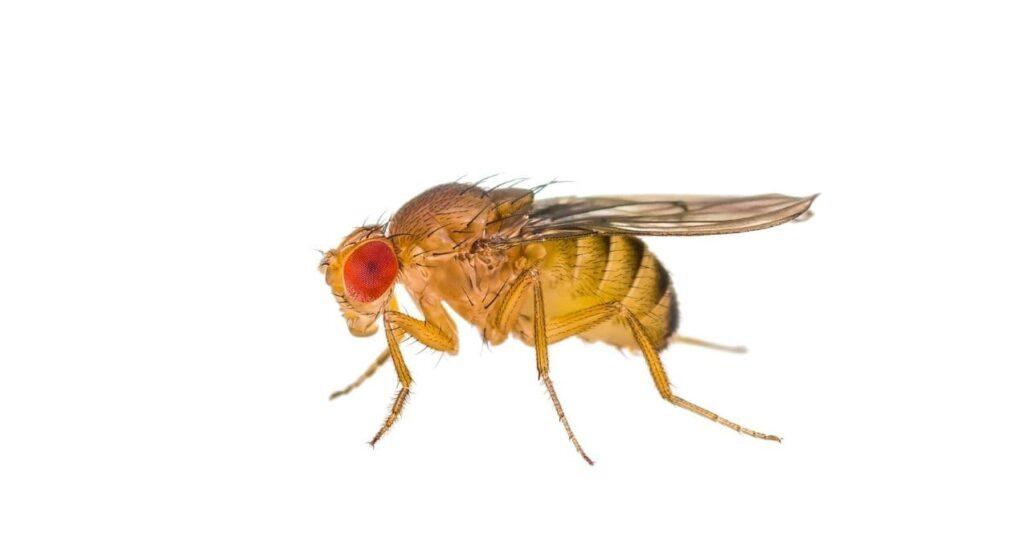 szkodnik muszka plamoskrzydła