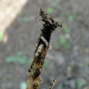 śmietka kapuściana niszczy korzeń w uprawie roślin