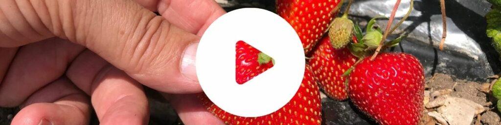 Ochrona truskawki - wideo