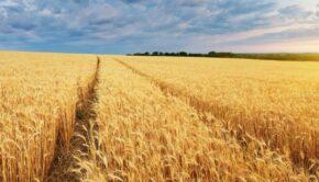 Jakie były zbiory zbóż 2020