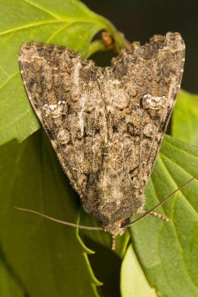 szkodnik piętnówka kapustnica na liściu