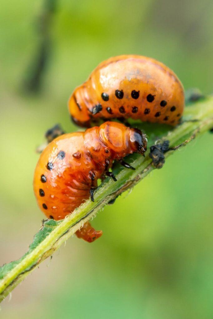 żerujące larwy stonki ziemniaczanej na naci