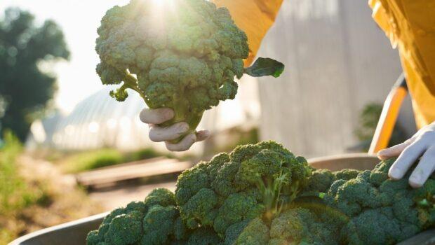 uprawa brokuła, zbliżenie na warzywo