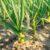 cebula na polu