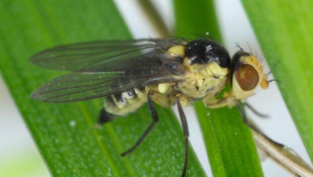 miniarka-porówka-Napomyza gymnostoma