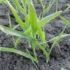 pszenica ozima- zwalczone chwasty